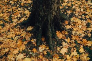 generous stewards tree roots and fall leaves